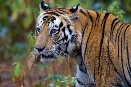 Tips to follow for Spotting Tiger | Wildlife in India | Scoop.it