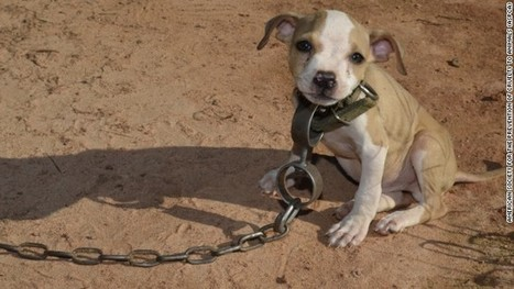 Fighting dogs now being trained to love | Animal Science | Scoop.it