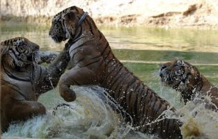 Video: tigers toddling in a proposed dam's flood zone | Thailand Business News | Scoop.it