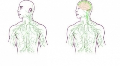 Des vaisseaux lymphatiques inconnus découverts dans le cerveau | 8.0 | Scoop.it