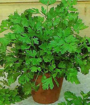6 plantas para interior aromáticas. Explosión de olor y sabor. | Agricultura | Scoop.it
