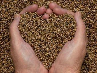 Graines de chanvre, propriétés Bienfaits   Plantes médicinales   Scoop.it