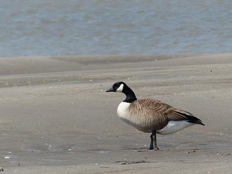 Photo d'oiseau : Bernache du Canada - Outarde - Branta canadensis - Canada Goose | Fauna Free Pics - Public Domain - Photos gratuites d'animaux | Scoop.it