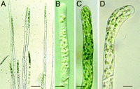 Targeted knockout in Physcomitrella reveals direct actions of phytochrome in the cytoplasm | plant cell genetics | Scoop.it