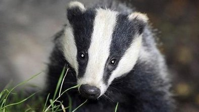 Badger cull v vaccines in TB fight | Wildlife Trust of South and West Wales | Scoop.it
