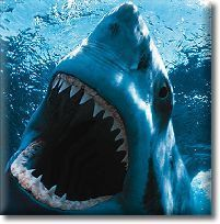 THE GREAT WHITE SHARK | About great white sharks | Scoop.it