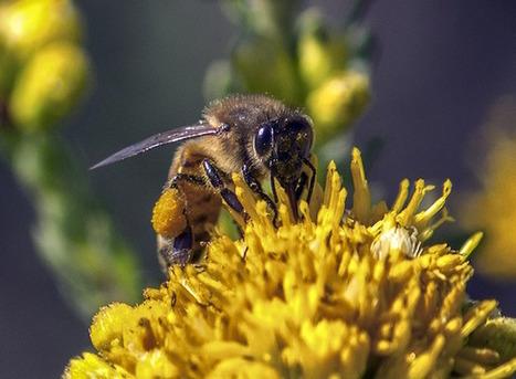 Le pollen : une affaire de goût pour les insectes | apiculture31 | Scoop.it