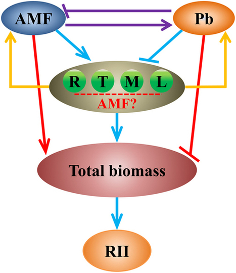 The roles of arbuscular mycorrhizal fungi (AMF) in phytoremediation and tree-herb interactions in Pb contaminated soil | Plant-Microbe Symbiosis | Scoop.it