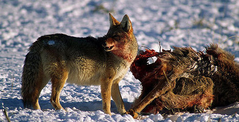 In the Valley of the Wolves - Reintroduction of the Wolves | Nature | PBS | Hodge Podge Collection of Readings | Scoop.it
