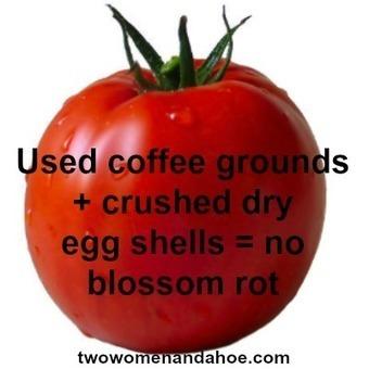 Organic Gardening: Coffee Grounds + Egg Shells = No Blossom Rot | Gardens and Gardening | Scoop.it