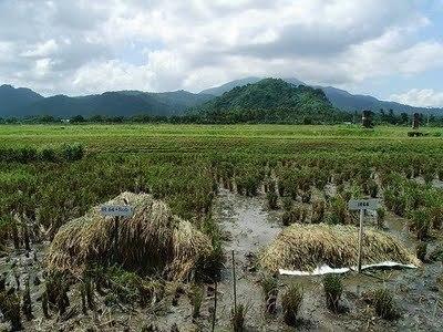 Un riz sous-marin pour des récoltes inondées aux Philippines | agriculture et développement territorial | Scoop.it