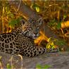 How humans help jaguars 2