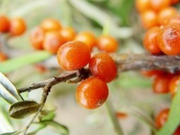 Savvy Natural Healer: Sea Buckthorn Oil and Weight Loss: How It Works | What Doctors Probably Won't Tell You About Diabetes | Scoop.it