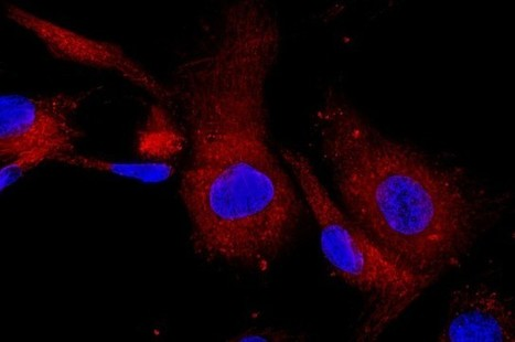 Drug Could Rejuvenate Aging Brain And Muscle Tissue | Science Lovers | Scoop.it