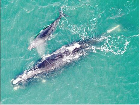 Saved from fishing line, right whales have babies - Windsor Star   Nova Scotia Fishing   Scoop.it