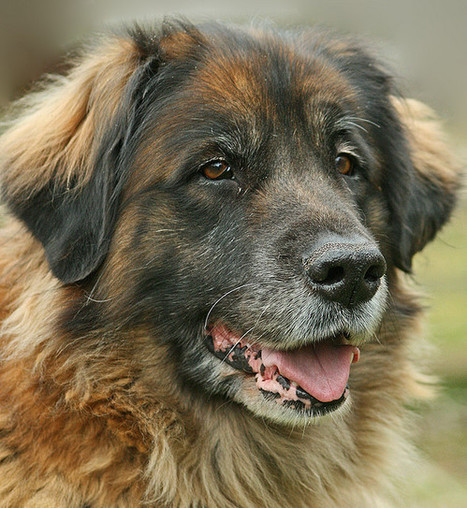 The Biggest Dogs in the World - There Be Giants ~ The Ark In Space | Animal Health | Scoop.it