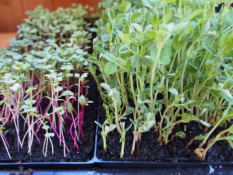 Are Microgreens more nutritious than Mature Greens? | Organic Farming | Scoop.it