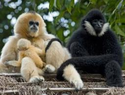 Shattering DNA may have let gibbons evolve into new species   Amazing Science   Scoop.it