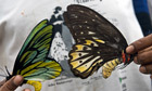 World's largest butterfly disappearing from Papua New Guinea rainforests - The Guardian (blog) | The Biggest in the World | Scoop.it