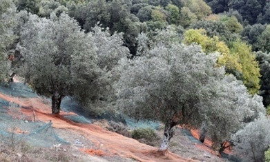 Europe's #olive trees threatened by spread of deadly #bacteria #climate #warming | Messenger for mother Earth | Scoop.it