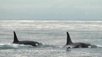 Researchers alarmed by 'puzzling' changes in resident #orcas ~ #changes in the ocean #environment | Rescue our Ocean's & it's species from Man's Pollution! | Scoop.it