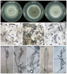 Systematic Analysis of Zn2Cys6 Transcription Factors Required for Development and Pathogenicity by High-Throughput Gene Knockout in the Rice Blast Fungus | MycorWeb Plant-Microbe Interactions | Scoop.it