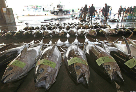 Radioactive Bluefin Tuna Still Being Caught Years After Fukushima | Amocean OceanScoops | Scoop.it