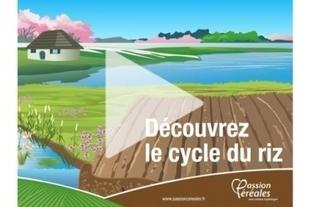 Cycle du riz | L'école des céréales | Pour la classe d'histoire-géographie | Scoop.it