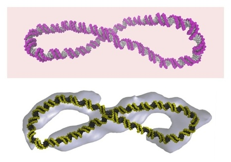 "Supercoiled DNA is far more dynamic than the ""Watson-Crick"" double helix 