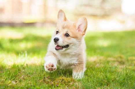 Corgis are for extroverts: What your favorite dog breed says about you | enjoy yourself | Scoop.it
