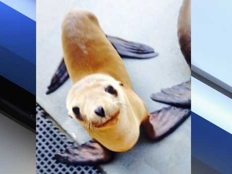 Lost sea lion pup found high 'n' dry in California orchard | enjoy yourself | Scoop.it