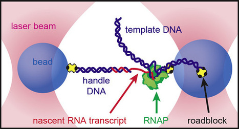 Stanford biologists watch RNA fold in real time | Virology and Bioinformatics from Virology.ca | Scoop.it