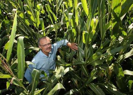 Boosting global corn yields depends on improving nutrient balance -   Agronomic articles   Scoop.it