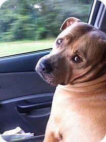 Glen St Mary, FL - Mastiff/Bullmastiff Mix. Meet Charlie a Dog for Adoption.   Baker County, Florida   Scoop.it