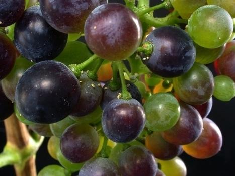 INRA - ACV pour évaluer essai système viticulture   Le Cognac et son vignoble   Scoop.it