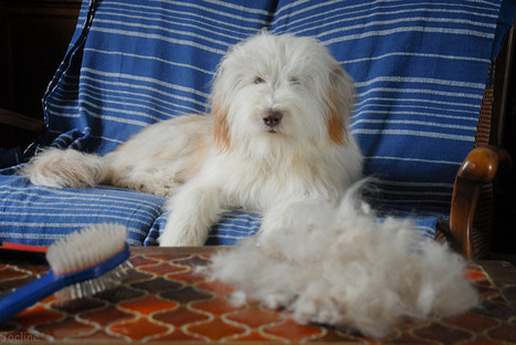 Mon chien perd ses poils : 4 astuces pour se débarrasser des poils de chien | CaniCatNews-santé | Scoop.it