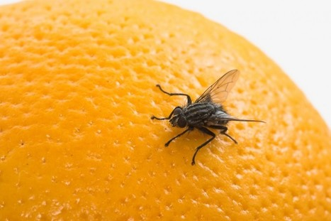 How To Eliminate Fruit Flies | Pest Inspection and Treatment in NC | Scoop.it