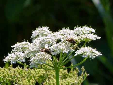Sur les ombellifères les insectes - L'Agrion de l'Oise | Les colocs du jardin | Scoop.it