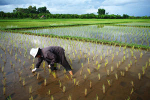Rice agriculture accelerates global warming: More greenhouse gas per grain of rice | Earth Citizens Perspective | Scoop.it