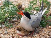 My #Tern: #Protecting wild, endangered species a benefit to us all* #wildlife | Rescue our Ocean's & it's species from Man's Pollution! | Scoop.it