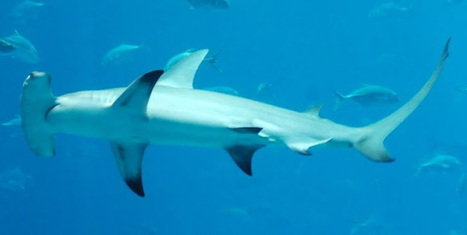 Ecologie Positive: Le Pacifique Sud, doux pour les Requins ... | TAHITI Le Mag | Scoop.it
