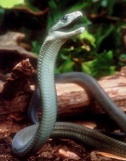Super-Toxic Snake Venom Could Yield New Painkillers | Quirky (with a dash of genius)! | Scoop.it