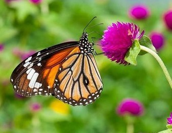 Is the Monarch Butterfly a GMO Casualty? | Daily News About Organic Products | Scoop.it