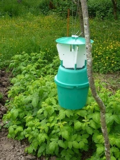 Les pièges du ver du framboisier | jardin | Scoop.it