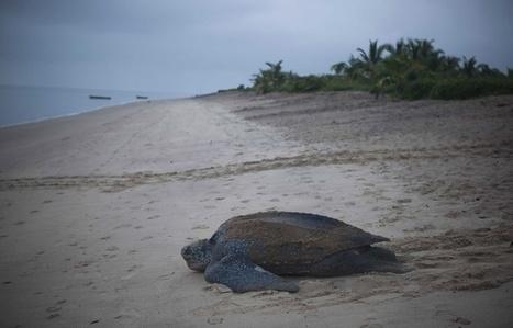 Les tortues sont des indicateurs de la santé des océans | Zones humides - Ramsar - Océans | Scoop.it