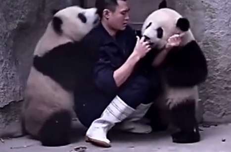 These Cute Baby Pandas Don't Want To Take Their Medicine | DailyVideosTV | Scoop.it