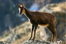 Comptage des isards sur le territoire du Parc national des Pyrénées : une baisse sensible des effectifs en 2013 sur le secteur Aure | Vallée d'Aure - Pyrénées | Scoop.it