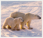 Polar Bears and Wildlife in Peril - The Humane Society of the United States   Blue Planet   Scoop.it