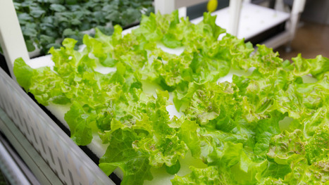 The future of lettuce looks a whole lot like a weed farm | Vertical Farm - Food Factory | Scoop.it