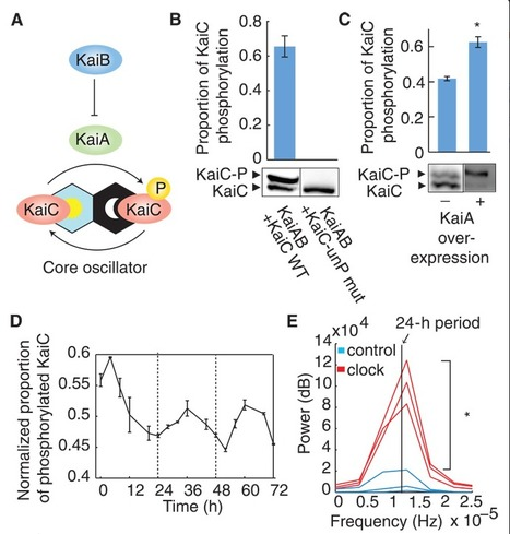 Transplantability of a circadian clock to a noncircadian organism | Amazing Science | Scoop.it